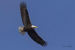 Bald Eagle (Stephen J Pollard (Loud Music Lover of Nature)) Tags: bird ave birdofprey avedepresa averapaz raptor baldeagle águilacabezablanca águilacabeciblanca haliaeetusleucocephalus