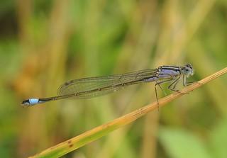 Blue-tailed Damselfly (Ischnura elegans) Female