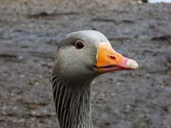 Greylag goose (Deanne Wildsmith) Tags: goose greylaggoose wolseleynaturecentre staffordshire earthnaturelife