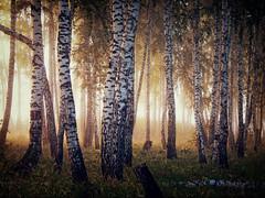 Foggy morning in the woods (arthurverigin) Tags: forest fog mist morning birch ubravnets siberia russia grove sunrise sunlight sunbeam landscape