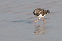 Racing the Tide (Andrew_Leggett) Tags: arenariainterpres turnstone beach tide race run jump shore bird winter wild wildlife nature natural