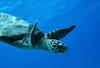 Blue world (Wildlife & Nature Photography) Tags: turtle sea diving water bluewater holiday wildlife nature animal