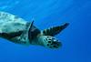 Blue world (Wildlife & Nature Photography) Tags: turtle sea diving water bluewater holiday wildlife nature animal marine scubadiving blueworld climatechange environment globalwarming seaturtle