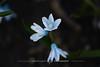 明日は見上げる方向にある。// Direction of tomorrow. (zwei_kilo_gramm) Tags: sapporo spring nature flower 札幌 blue 自然 花・草木 春 花 北海道 hokkaido 草木 日本 四月 そこらへん japan april