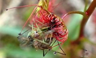 GREEDY SUNDEW WITH CAPTURED PREY