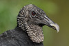 Black Vulture - Portrait (NeilCastle) Tags: orlando birdofprey vulture bird birds wildlife raptor blackvulture florida