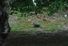 Backyard of Jamuna Resort-1 (ismat5) Tags: jamunaresort backyard bowl bird tree grass greengrass greenery jamunaresorttangail dhaka bangladesh
