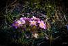 2018 Tavasz (Dzsózi) Tags: virág canon 6d ef24105 f4lisiiusm