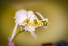 DSC3217 (Orhan Kılıç) Tags: orchid orkide plant flower