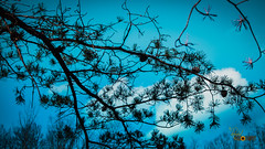 Pine Tree Under the Turquoise Sky (Randall ]|[ Photography) Tags: saveearth epl1 north northcarolina olympus stonemountainstatepark traphill us unitedstates amazing beautiful blue branch interesting landscape nature nice oldtrees outdoor outdoors park photo photographer photography pic picture pinecones pinetree relax relaxing sky tree trees turquoise up