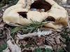 Deflated (Just Say Jules!) Tags: pumpkin jackolantern jack stuffinmybackyard decomposing