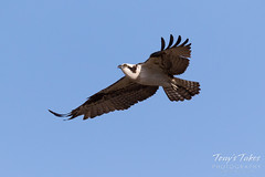 Male Osprey landing sequence - 5 of 28
