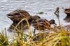 Vermilion Lakes, Banff (aud.watson) Tags: canada alberta canadianrockies albertasrockies banffnationalpark banff vermilionlakes lake lakes water marsh swamp grass reeds bird duck