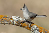 Black-crested Titmouse (anthonylouviere) Tags: bird birding songbird titmouse blackcrestedtitmouse texas wildlife outdoors explore