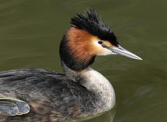 GREAT CRESTED GREBE 4 210318 (gazza294) Tags: grebe greatcrestedgrebe birdlife flicker flickr flckr flkr flickrexplore gazza294 garymargetts