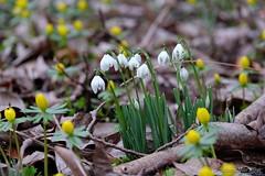 Einen schönen Sonntag Euch Allen (Sockenhummel) Tags: botanischergarten botanischergartenberlin märzenbecher winterlinge marchcups frühling spring flowers blumen fuji xt10