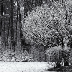 Winter trees (Tim Ravenscroft) Tags: woodland winter snow trees monochrome blackandwhite blackwhite hasselblad hasselbladx1d x1d