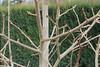 Diospyros kaki-12 (The Tree Library (TreeLib.ca)) Tags: diospyroskaki japanesepersimmon