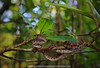 in the mangroves.. (Rob Valentic - Gondwana Reptile Productions) Tags: mangroveviper trimeresuruspurpureomaculatus viperslangkawi makroplanar spectacularmalaysianreptiles malaysia langkawiislandreptiles pulaulangkawi mangrove ripariansnakes pitviper venomoussnakes medicallysignificantsnakes bokehsnake bokehrob bokehzeiss carlzeissoneos carlzeisslenses zeissoncanon makroplanar502ze efmountzeiss bokehinthemangroves robvalentic canoneos5dmark3 asiansnakes asianreptiles treeviper treesnakes arboreal spectacularasianvipers tropical supralittoralreptiles