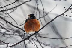 A Robin's Nightmare (pablo_blake) Tags: americanrobin bird snow tree nikond5500 robin spring