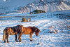(Clint Everett) Tags: horse horses winter iceland landscape mountains snow pair couple nature