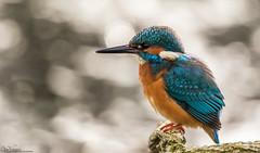 Patient Kingfisher (Steve (Hooky) Waddingham) Tags: animal bird british blue countryside nature flight fishing photography wild wildlife river bank