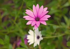 wildflower (@Katerina Log) Tags: wildflower florafauna flower foliage outdoor depthoffield bokeh daylight daisy katerinalog nature natura sonyilce6500 105mmf28 macro closeup plant purple
