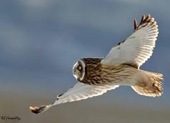 Ragged tail (Ted Humphreys Nature) Tags: shortearedowl owls raptors birdsofprey england tedhumphreysnature