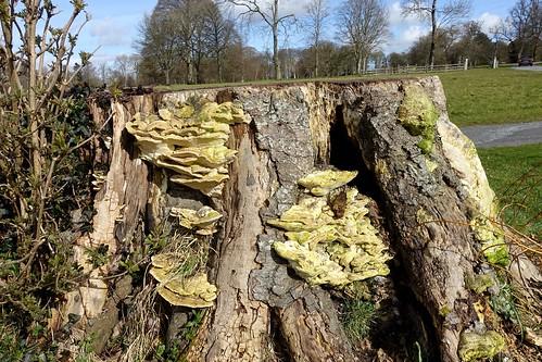 Yellow Bracket Fungus