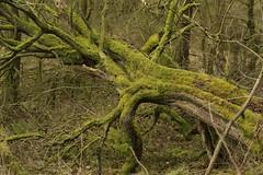 Remnant (Tony Tooth) Tags: nikon d7100 tamron 2470mm tree green moss fallen fallentree deadtree leek staffs staffordshire
