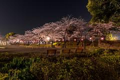 #85 Ukimakoen hanami (tokyobogue) Tags: nikon nikond7100 d7100 tamron tamron1024mmdiiivc tokyo japan ukimafunado night longexposure ukimakoen sakura cherryblossom cherry blossoms trees spring 365project hanami