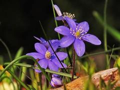Purple....... (ilfotografodellapausapranzo1) Tags: flores flowers purple mountains lagodigarda tremosinesulgarda giardino fiori viola naturalmente lovesnature fantasticnature amazingnature fotonaturalistica