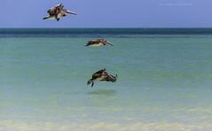 Pélican brun Pelecanus occidentalis - Brown Pelican (beluga 7) Tags: pélicanbrun pelecanusoccidentalis brownpelican travel voyage yucatan mexico mexique bird ornithologie