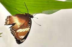 Farfalla 7 (Maurizio Belisario) Tags: farfalla butterfly ali volo fly animali animals