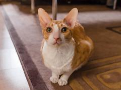 _P1011741_cut (daniel kuhne) Tags: cats katzen cornishrex stubentiger mft epl3