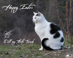 Happy Easter Dear Flickr Friends ♥ (Xena*best friend*) Tags: richardgere rg whiteandblackcat happyeaster bunnyeaster cats whiskers feline katzen gatto gato chats furry fur pussycat feral tiger pets kittens kitty piedmontitaly piemonte canoneos760d italy wood woods wildanimals wild paws animals calico markings ©allrightsreserved purr digitalrebelt6s efs18135mm flickr outdoor animal pet
