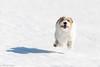 Flying jack russel. (Tõnno Paju) Tags: sara dog flying animal pet jack russel terrier snow winter