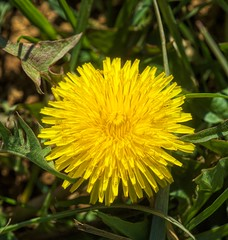 Dandelion macro (Steve4343) Tags: steve4343 nikon d70 appalachian trail cherokee national forest red green blue yellow orange white clouds sky beautiful tennessee autumn beauty johnson county lake watauga cloud colorful woods garden gardens happy leaves rocks wildlife landscape mountain tree trees grass water wood butler dandelion