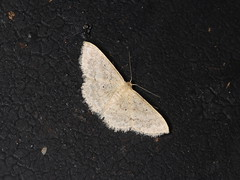 Sterrhinae sp. (dhobern) Tags: 2018 china lepidoptera march xtbg xishuangbanna yunnan geometridae sterrhinae
