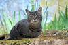 Camille with blue sky (rootcrop54) Tags: camille female tabby striped stripes cat bluesky blue sky stone wall spring neko macska kedi 猫 kočka kissa γάτα köttur kucing gatto 고양이 kaķis katė katt katze katzen kot кошка mačka gatos maček kitteh chat ネコ