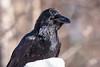 Raven (Dan King Alaskan Photography) Tags: raven corvuscorax avian bird black ebony snow tworiversalaska canon80d sigma150600mm