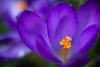 Krokus (photalena) Tags: macro flower biotar258 tiny purple krokus spring