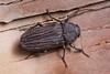 Pseudocastalia arabica (NakaRB) Tags: 2012 egypt sharmelsheikh clubelfaraanareef4 insecta coleoptera buprestidae pseudocastaliaarabica