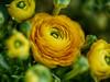 Ranunkel, lass dein Haar herunter... (BeMo52) Tags: blume bokeh flora gelb hahnenfus macro makro natur nature pentacon50mmf18 ranunculus ranunkel yellow