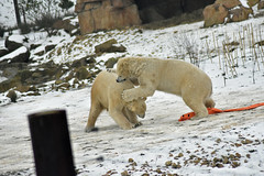 rough play (dan487175) Tags: polarbear white bear fur fight biteing roughplay playing playfight zoo nikon snow cold 2018 fun winter teeth plasticbag den photo nature photography colour ours ursus orso mammal animal toes claws paws säugetier bär