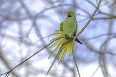 Morning stretch (- A N D R E W -) Tags: bird parrot parakeet green yellow color colorful vibrant nature naturaleza tamron canon 80d 150600mm