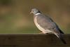 Woodpigeon (Matt Hazleton) Tags: woodpigeon pigeon bird wildlife nature animal outdoor canon canon100400mm canoneos7dmk2 eos 7dmk2 100400mm summerleys northamptonshire bcnwildlifetrust matthazleton matthazphoto columbapalumbus
