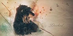 Daschund (Ro Cafe) Tags: milonga teckel daschund dog doggie portrait photoshop photomanipulation painterly watercolor textured nikond600 nikkormicro105f28