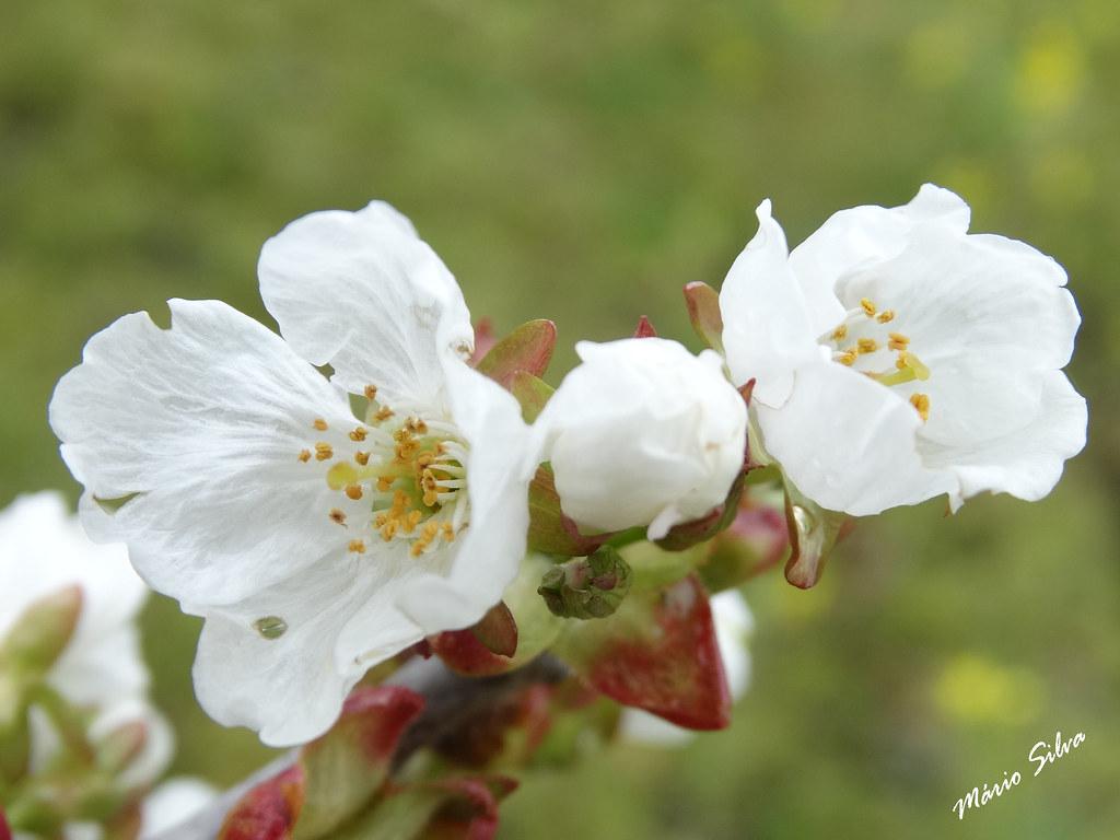 Águas Frias (Chaves) - ... flor de cerdeira (cerejeira) ...