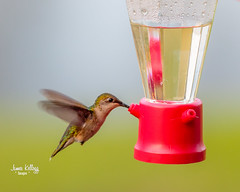Late evening Hummingbird (James Kellogg's Photographs) Tags: hummer hummingbird small fast feeder window watching bird eating st augustine elkton florida